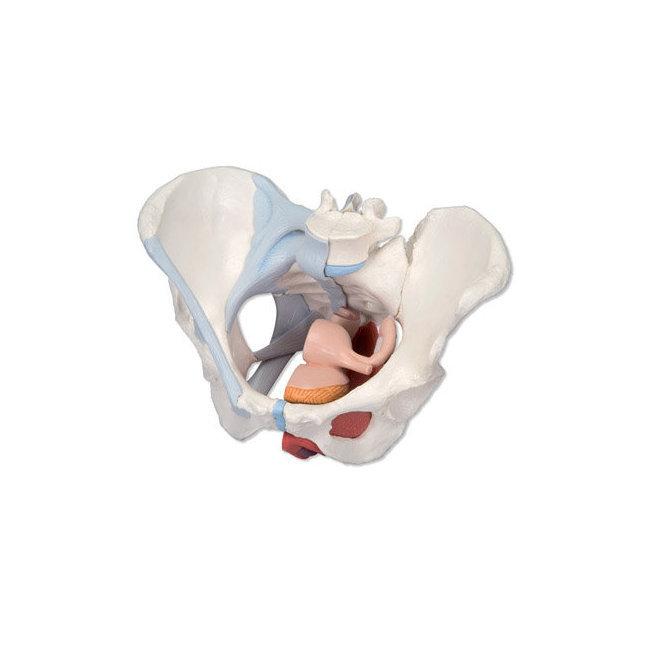Mod le anatomique du bassin f minin en 4 l ments for Interieur vagin